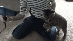 cat playing with hair-dryer