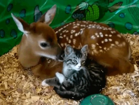 Friendship between cat and deer