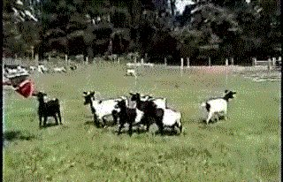 some effect by goats