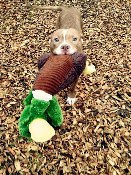 Charlie the rescue pittie wants to show you his duck