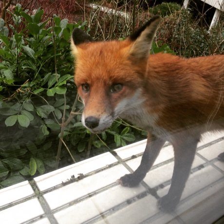 This fox came up to the window at my work