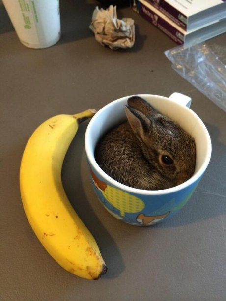 Baby bunny. Banana for scale.