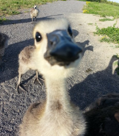 This gosling was very interested in my phone
