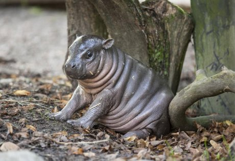 Just a baby dwarf hippo